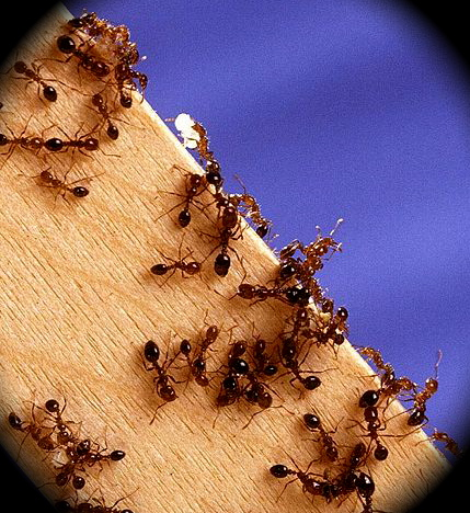 Ant Species photo - Worker Fire Ants on Wood
