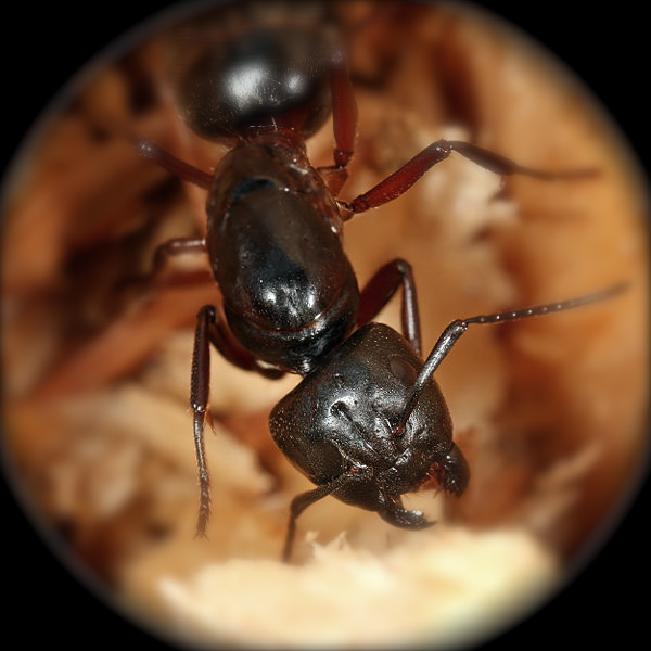 close-up image carpenter ant