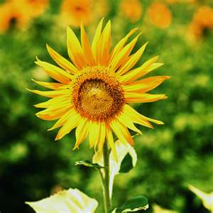 Flower Photo: Bright Yellow Sunflower