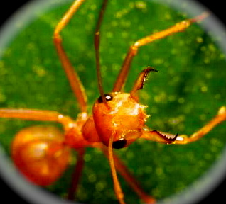 close-up image of worker weaver ant